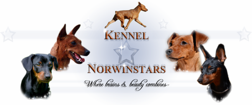 Kennel Norwinstars - where brains and beauty combines